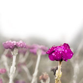 Gentle purple flower covered dew — Stock Photo