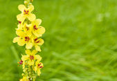 Yellow field flower — Stock Photo