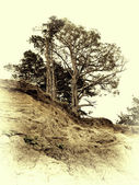 Vintage photo of pine on a precipice — Stock Photo