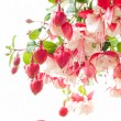 Stock Photo: Blooming fuchsia