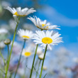 Daisies — Stock Photo #19541081