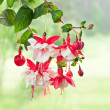 Royalty-Free Stock Photo: Fuchsia
