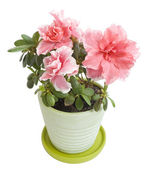 Blooming azalea — Stock Photo