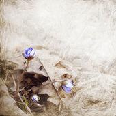 Hepatica blooms — Stock Photo