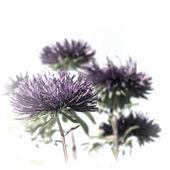 Purple asters — Stock Photo