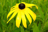 Rudbeckia x hybrida hort. — Stock Photo