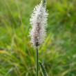 Hoary plantain in blossom — Stock Photo