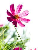 Kosmos kwiat — Zdjęcie stockowe