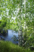 Birches by the river — Stock Photo