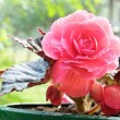 Begonia — Stock Photo #36756847