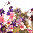 Aquilegia — Stock Photo #40558461