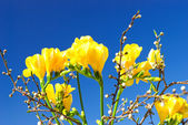 Yellow freesia and sprigs of cherry-plum — Stock Photo