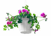 Garden geranium — Stock Photo