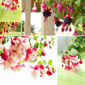 Blooming fuchsia — Stock Photo