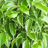 Benjamin ficus foliage — Stock Photo