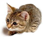 Gray tabby kitten. — Stock Photo