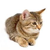 Gray tabby kitten. — Stock Photo