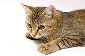 Rolig katt. — Stockfoto