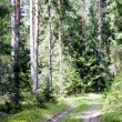 Road in a beautiful pine-wood — Stock Photo