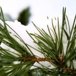 Pine branch under snow — Stock Photo #1221186