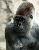 Silverback gorilla in Loro Park — Stock Photo