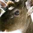 Stock Photo: Fearful look of deer
