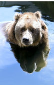 Kodiak boz ayı — Stok fotoğraf