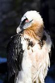 Lammergeyer or Bearded Vulture — Stock Photo