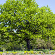 Majestic centenary oak tree in botanical garden — Stock Photo
