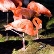 Greater pink flamingo  — Stock Photo