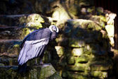 Andean Condor (Vultur Gryphus) — Stock Photo