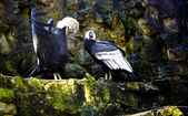 Male Andean condor with the open wings before a bird female — Stock Photo