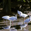 Spoonbill birds feeding — Stock Photo