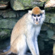 Lonely African Patas monkey — Foto Stock