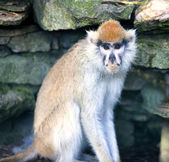 Lonely African Patas monkey — Stock Photo