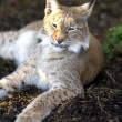 Stock Photo: Northern lynx luxuriates in the rays of a sun