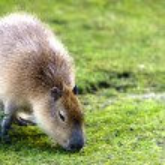 Capybara (Hydrochoerus hydrochaeris) — Stock Photo #39863401