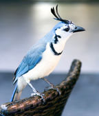 White-throated magpie-jay — Stock Photo