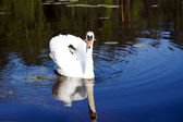 White swan with the napped feathers — Stock Photo