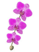 Beautiful pink orchid branch isolated on white background — Stockfoto