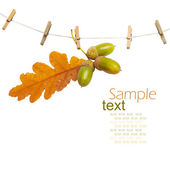 Oak branch with acorns hanging on clothesline isolated on white — Stock Photo