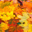 Bright and colorful background of fallen autumn leaves — Stock Photo #33184219