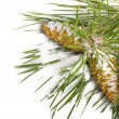 Snow-covered pine branch with cones  — Stock Photo