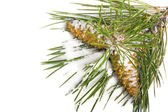 Snow-covered pine branch with cones — ストック写真