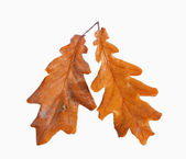 Dried autumn leaves isolated on white background — Stock Photo