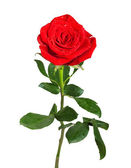 Red rose with green leaves and water drops isolated on white bac — Stock Photo