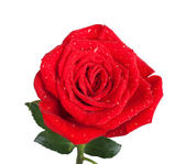 Red rose with green leaves and isolated on white background — Stock Photo