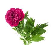 Krásná kytice růžová pivoňka — Stock fotografie
