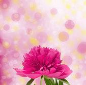 Rosa peonías — Foto de Stock