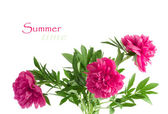 Beautiful bouquet of pink peonies on a white background isolated — Stock Photo